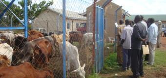 Amuru Residents Get 101 Cattle Under Restocking Program