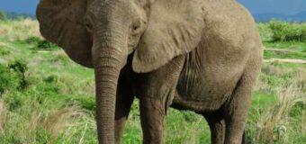 UWA Ranger Killed by Elephants