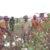 Government Launches Cotton Farm in Kitgum